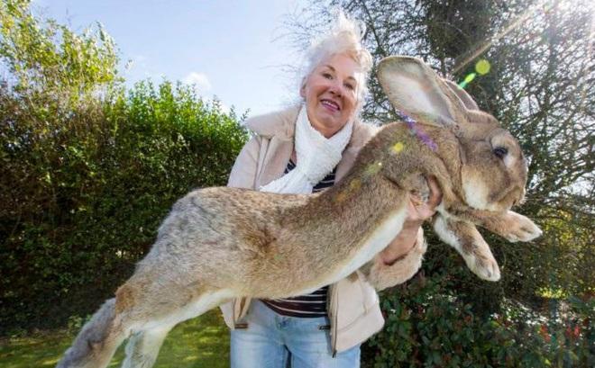 Кролик-гигант Дарий из книги рекордов Гиннеса