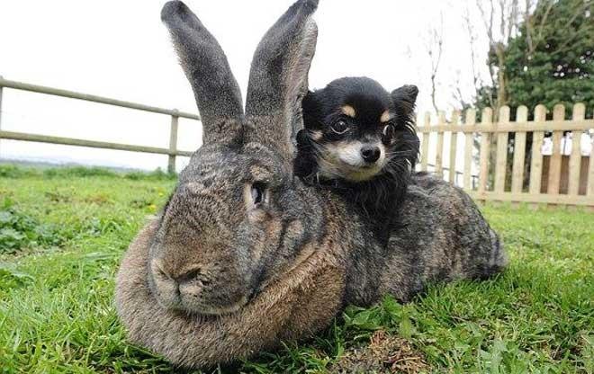 Кролик гигант больше по размеру, чем миниатюрная собака