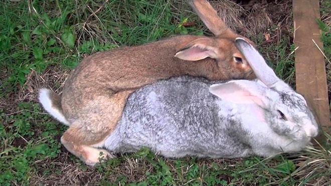 Процесс скрещивания кроликов