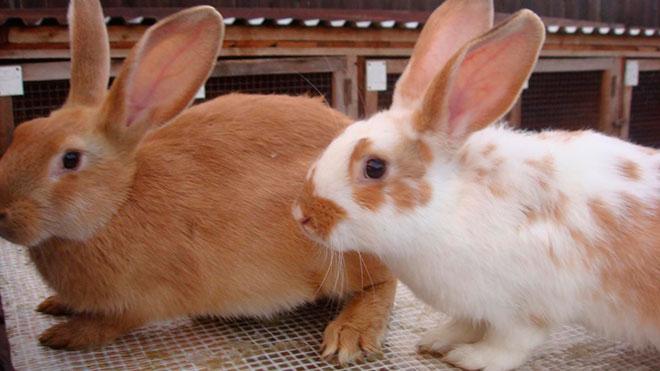 Отобранные кролики