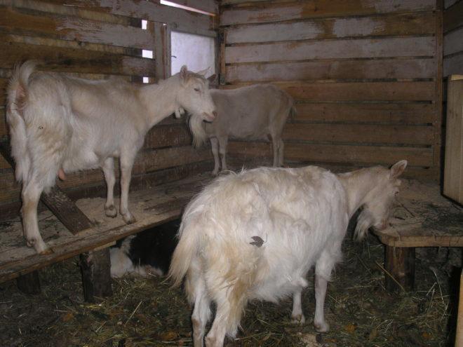 Обязательно наличие окна в сарае у коз