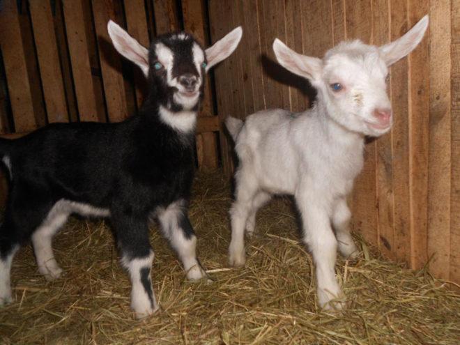Отдельное помещение для козлят