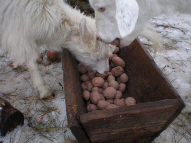 Кореплоды в рационе коз