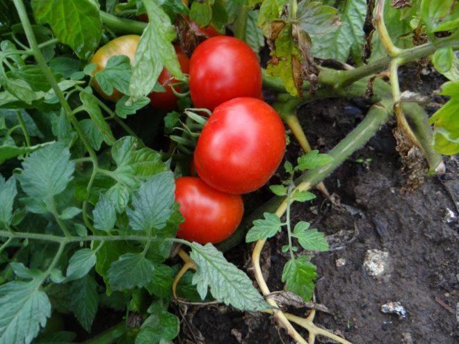 Новый сорт томатов «Лабрадор»