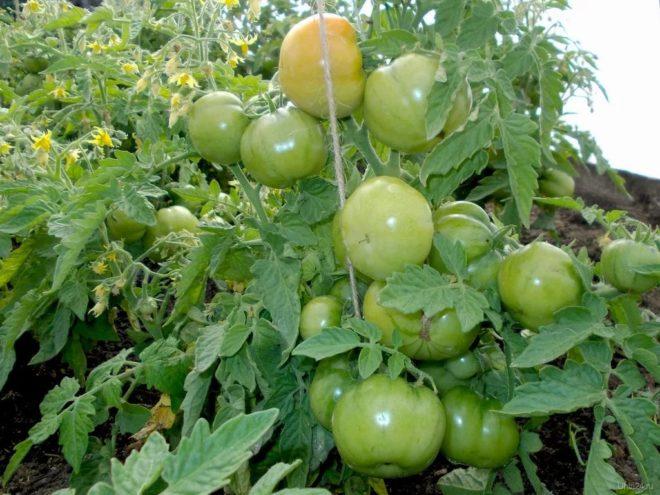Кусты «Лабрадор» невысокие и устойчивые к болезням