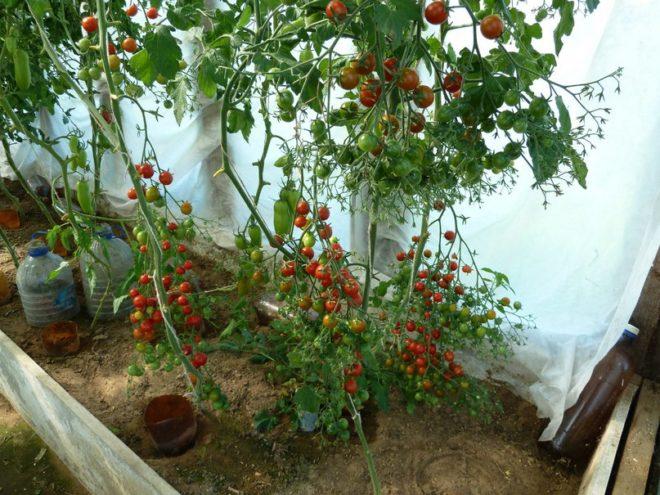 Помидоры «Лабрадор» редко высаживают в открытый грунт