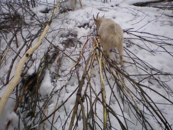 Рай веток для коз