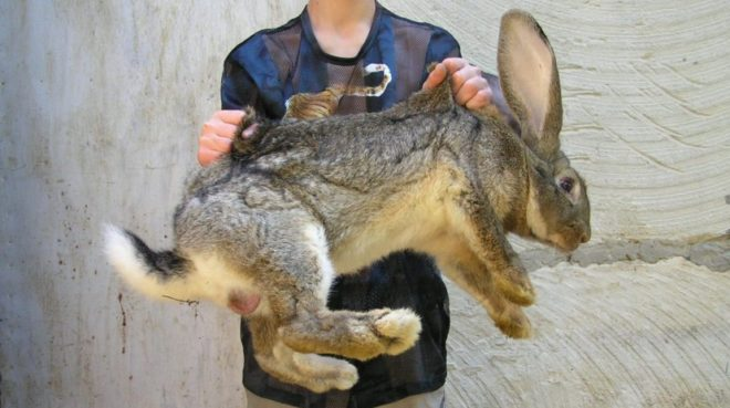 Кролики-акселераты