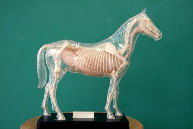 Скелет взрослой лошади