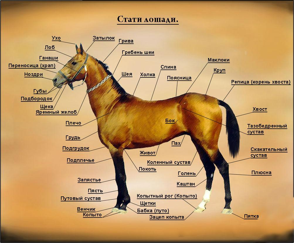 Схема деления лошади на стати