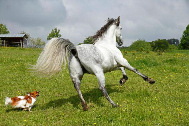 Хвост лошади помогает в координации при движении
