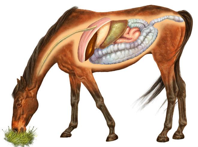 Схема расположения внутренних органов лошади