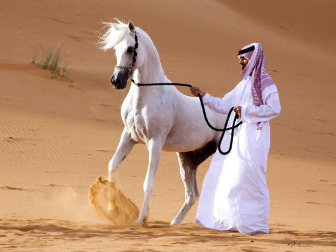 Арабские лошади самые красивые и дорогие
