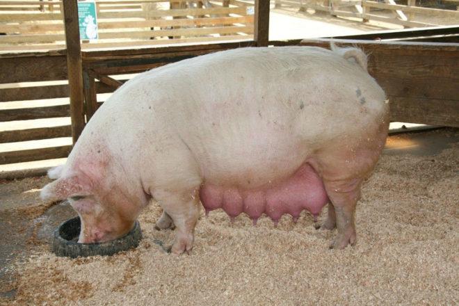 Беременная свинья готовится к опоросу