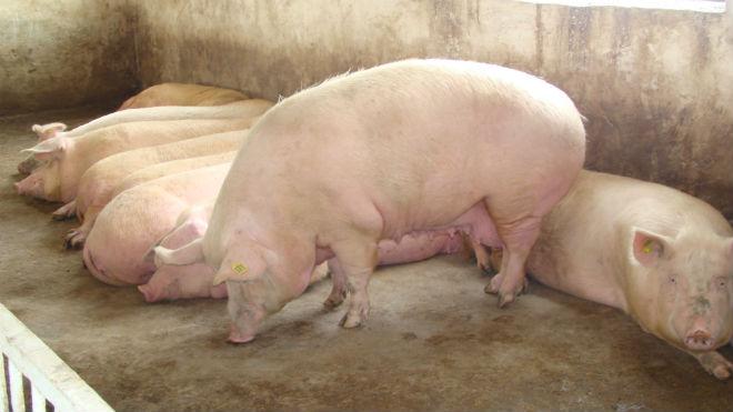 Молодые свинки к девяти месяцамстановятся половозрелыми