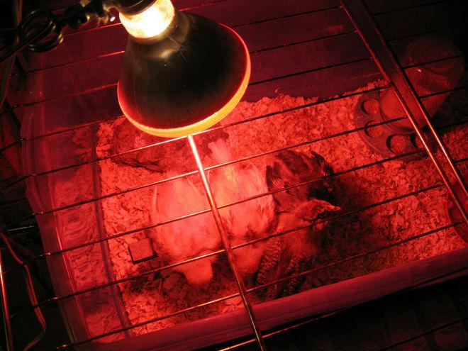 Инфракрасные лампа для обогрева птенцов