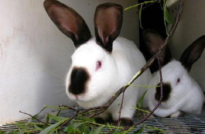 Для стачивания зубок крольчатам необходимы веточки