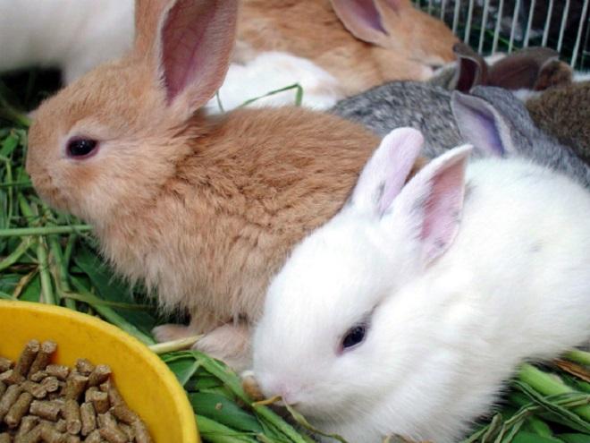 Концентраты и комбикорма обогащают меню кролика