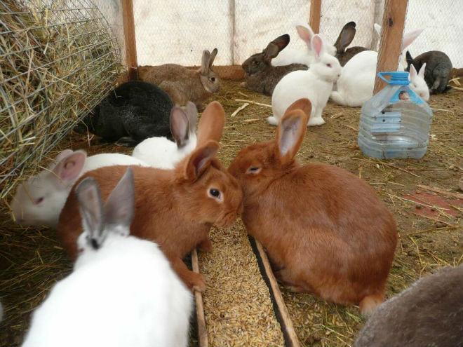 При низких температурах важно полноценное питание кроликов