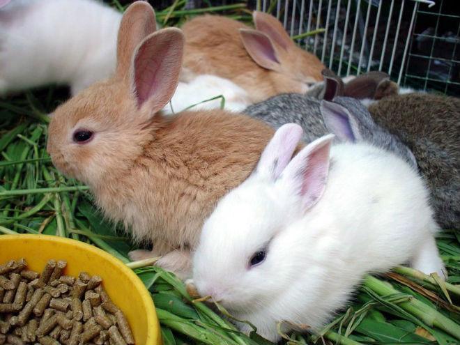 Крольчат постепенно отучают от молока