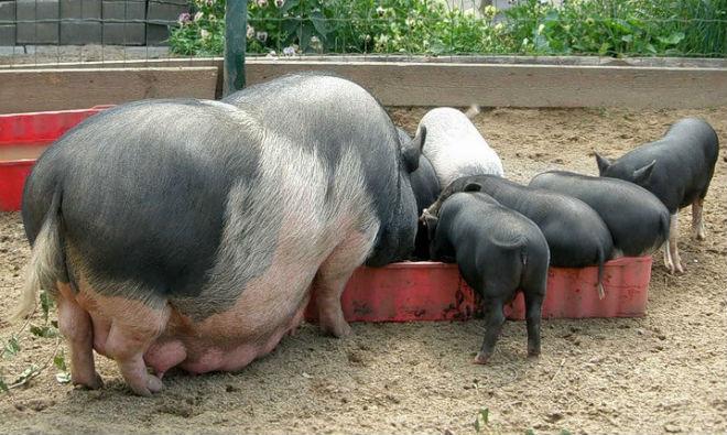 Вьетнамских свиней кормят кашами, овощами и зеленью