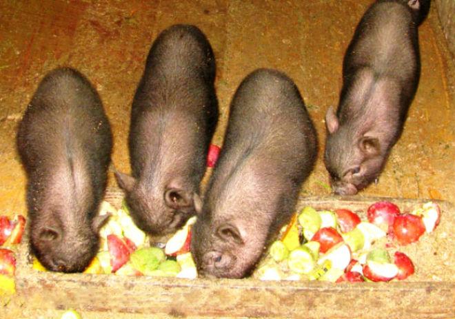 Летом вьетнамские свиньи едят фрукты, овощи и зелень