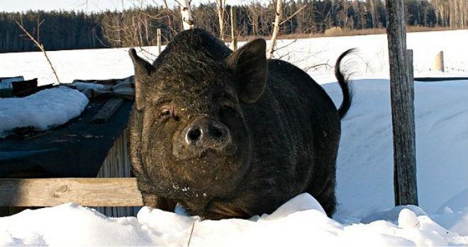 Азиатские свиньи зимой требуют усиленного питания
