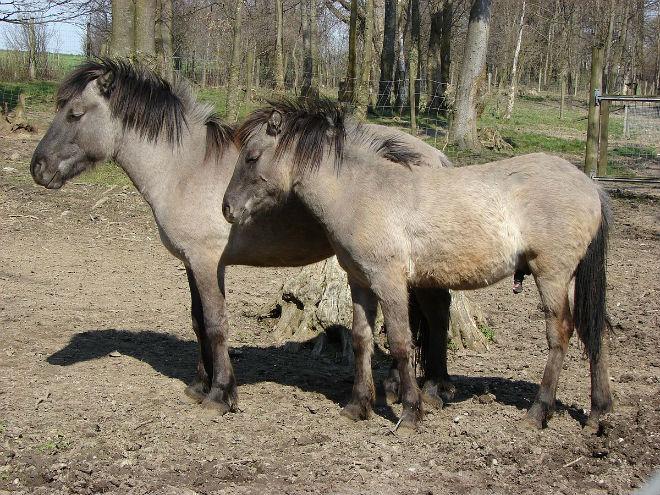 Вымершие предки лошадей - тарпаны