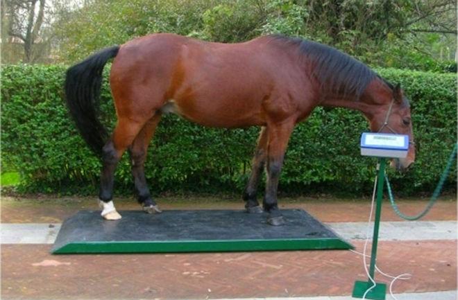 Необходимо следить за весом лошади постоянно