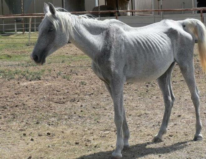 Лошадь неудовлетворительно выглядит при плохом уходе