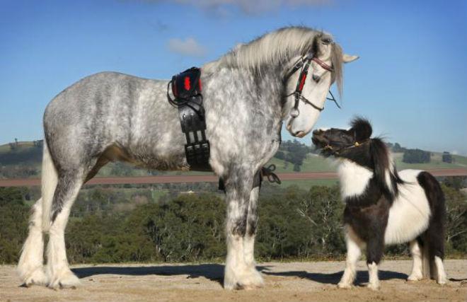 Высокорослая лошадь в сравнении с пони