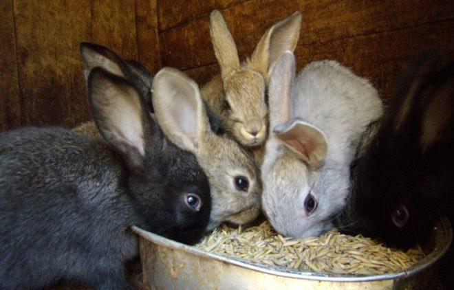 Концентрированный корм важен для кроликов