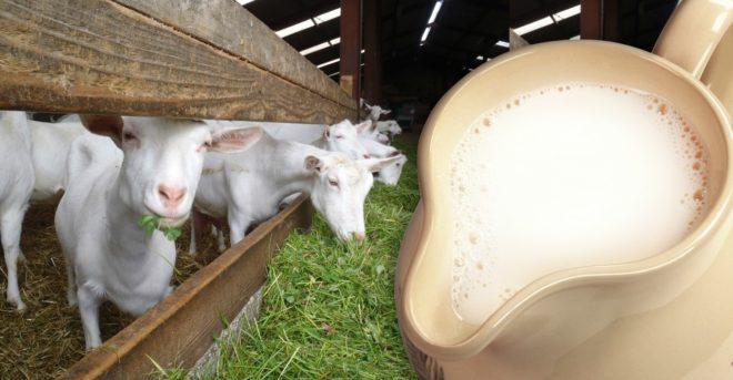 Козье молоко отличается ценными свойствами