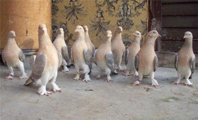Такла - очень востребованная порода голубей