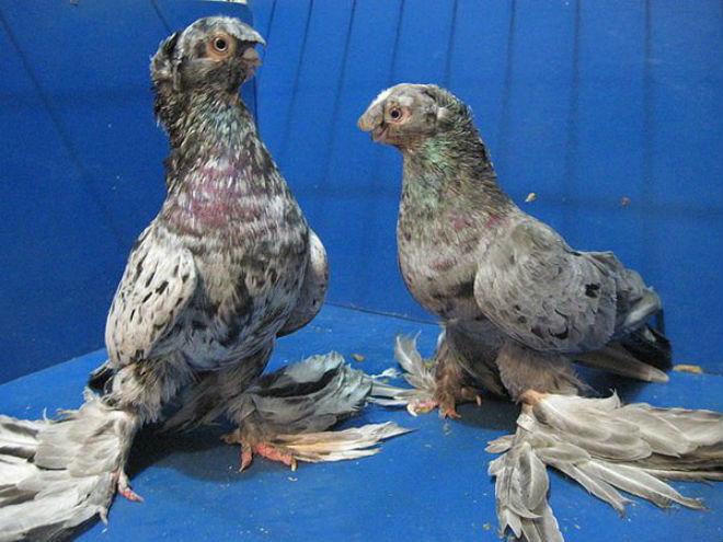Узбекские голуби красивы и хорошо летают