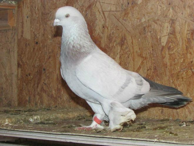 Узбекские лётные голуби менее декоративны