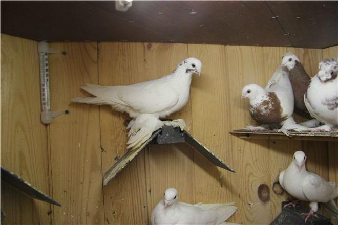 Узбекская порода голубей требовательна к содержанию