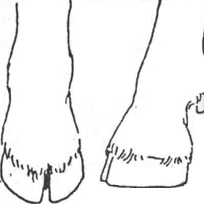 Вид копыт козы после завершения процедуры обрезки