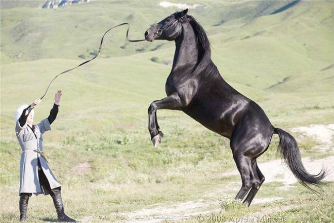 Кабардинская порода лошадей лучшая для джигитов