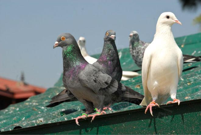 В городе живет большое количество голубей