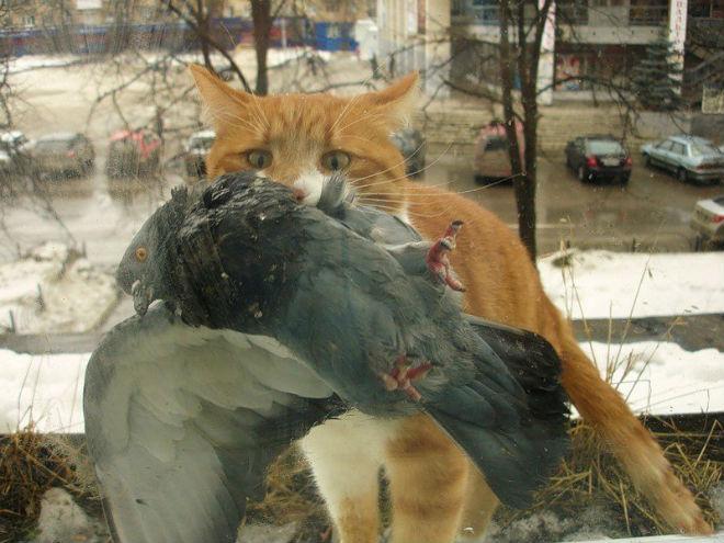 Домашний кот охотится на голубей