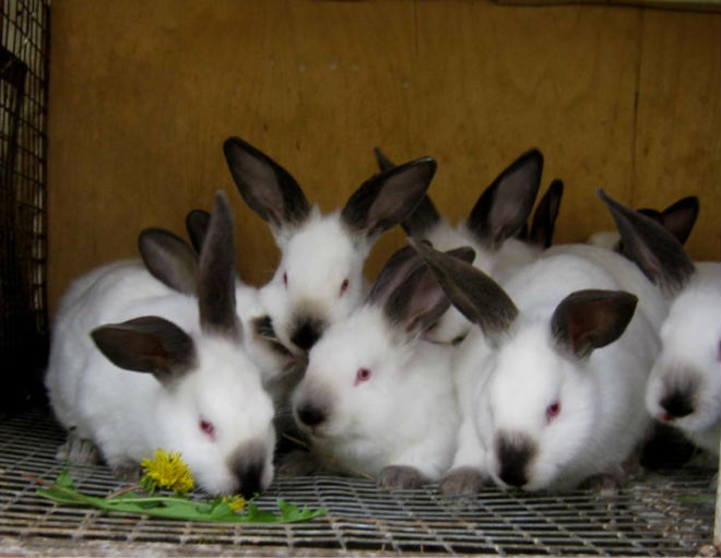 Кролики калифорнийской породы особенно популярны