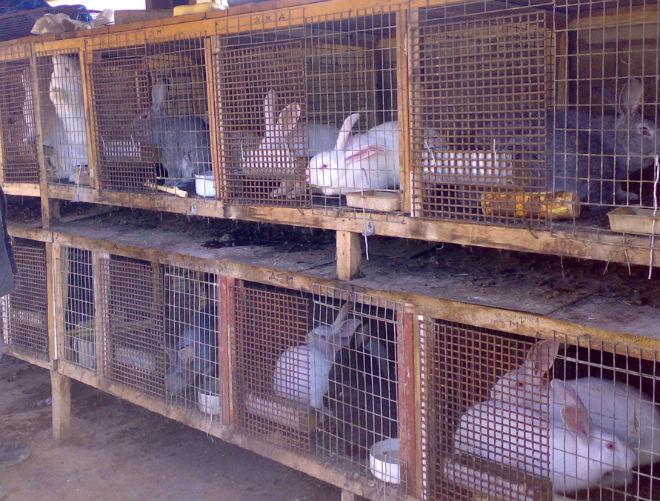 Чаще всего кроликов содержат в клетках
