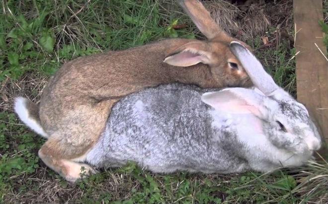 Спаривание кроликов начинают с 4-6 месяцев