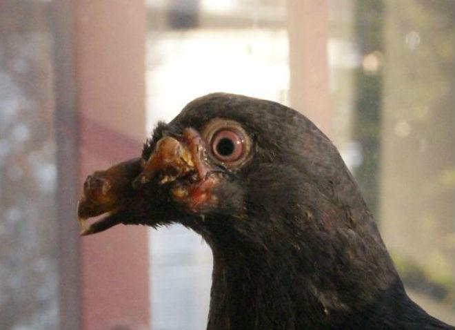 Дифтерит голубей может привести к летальному исходу.