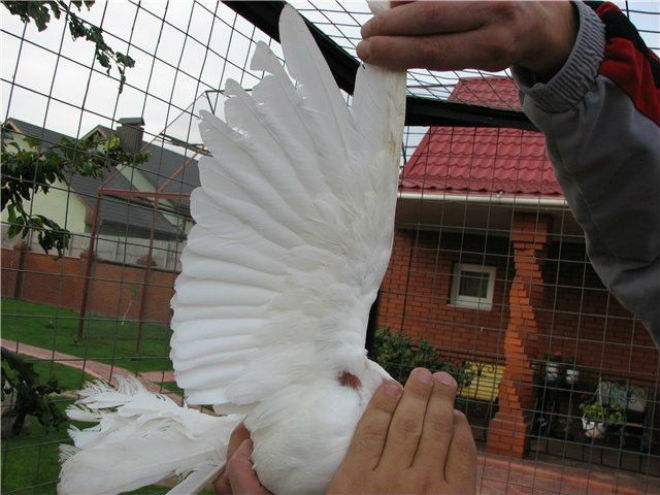 Обработка больного оспой голубя