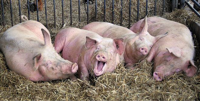 Свиньи в благоприятных условиях набирают вес