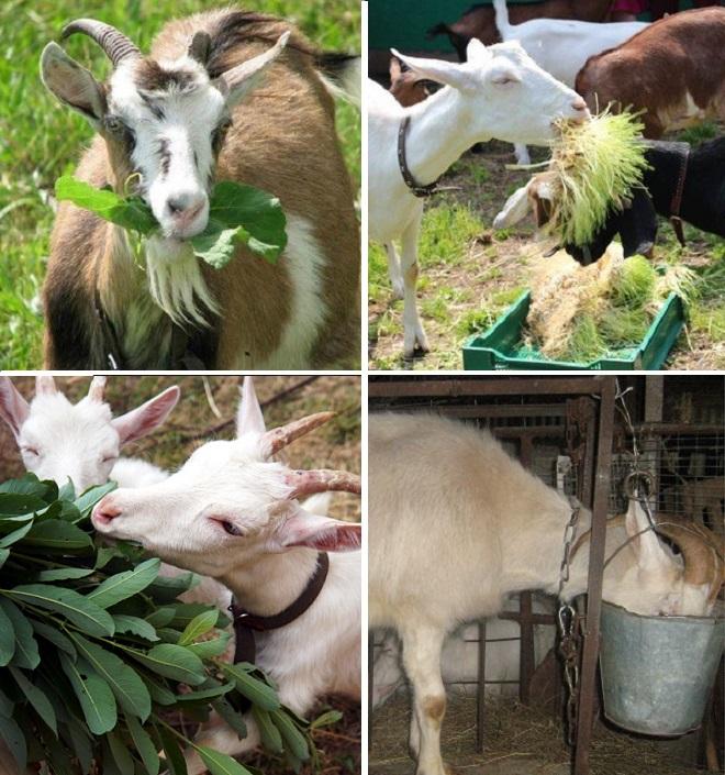 Беременная коза должна питаться часто и разнообразно