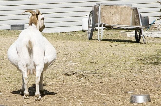 За два месяца до появления малышей козу не доят
