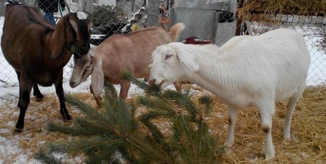 Сосновые веточки отлично впишутся в рацион будущей мамы-козы